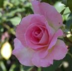 medium_rose.jpg